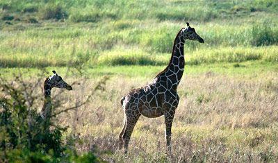 Stilstudie av giraff, Meru National Park