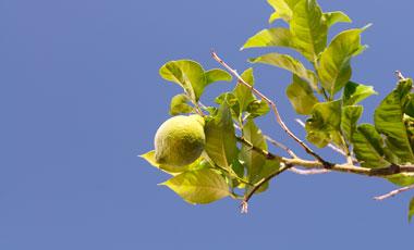 Citron, citronträd
