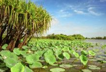 Näckrosor i Mary River, Litchfield, Northern Territory