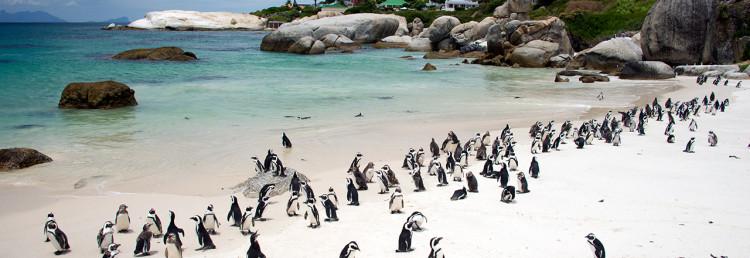 Att se alla pingviner på Boulder Beach är ett måste när man är i Simonstown