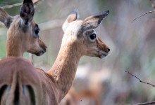 Söta impalas (antiloper) ser vi under vår väg till Mavela Game Lodge