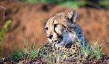 Safari med lejon och gepard i östra Sydafrika