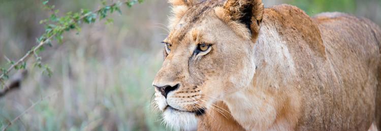 Top - Lejon, Thanda Private Game Reserve