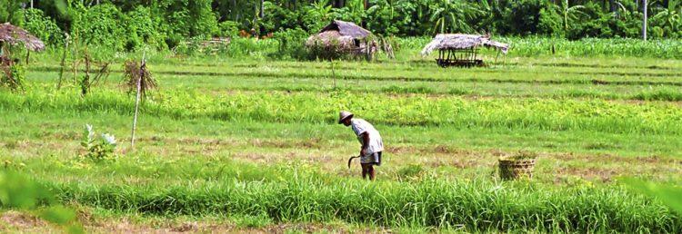 Arbete på fälten i norra Bali