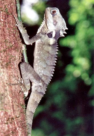 Boyd's Forest Dragon ödla, Mossman Gorge