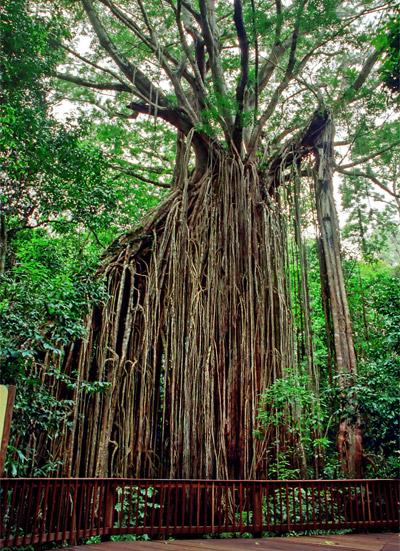 Curtain Fig i Yngaburra