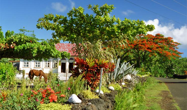 Häst står och äter i en trädgård i Avao, Samoa