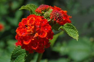 Nyvattnade blommor i trädgården i Monte Viñas