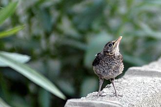 En liten fågelunge som ramlat ut ur sitt bo