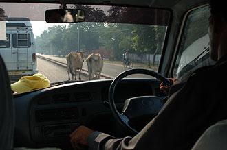 Kor korsar vägen
