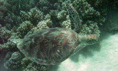 Sköldpadda, Snorkling i barriärrevet med Ocean Safari Tour