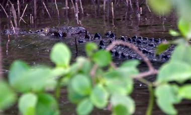 Krokodil,Scarface, Daintree river Wildlife Cruise