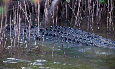 Krokodil, Scarface, Daintree river Wildlife Cruise