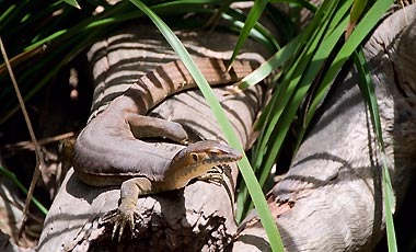 Merten's water monitor, the crocodile that isn't, Kuranda Koala Gardens