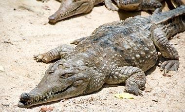 Freshwater Krokodil, Kuranda Koala Gardens