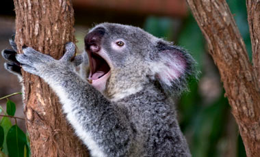 Gäspande Koala, Kuranda Koala Gardens
