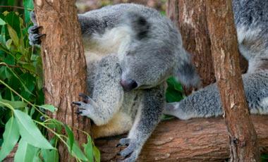 Koala, Kuranda Koala Gardens