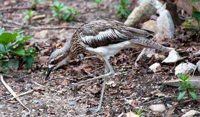 Tjockfotar, typisk fågel för Long Island
