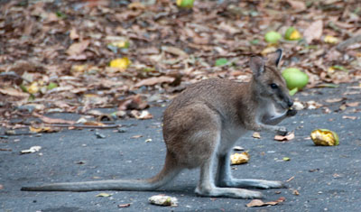 Wallaby, Long Island