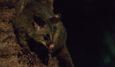 Possum i Hyde park