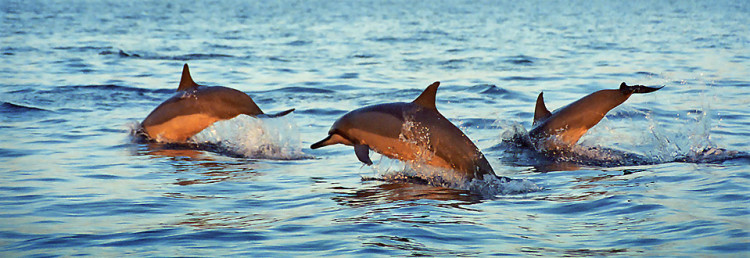 Dolphines, Bali