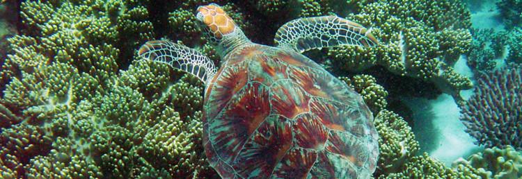 En sköldpadda i Stora Barriärrevet vid Cape Tribulation, Australien
