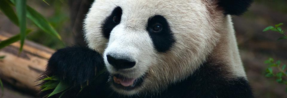 Giant Panda in Chengdu, China