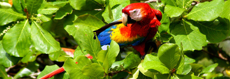 Costa Rica, Scarlet Macaw