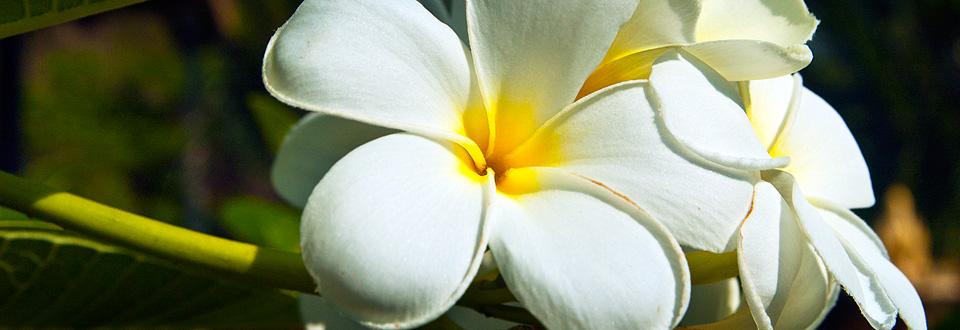 Thailand, blomma