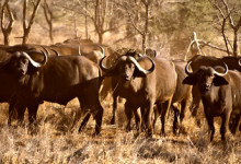 En stor hjord afrikanska bufflar i Meru National Park, Kenya