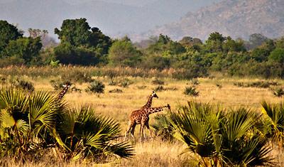 Giraffer i Meru National Park, Kenya