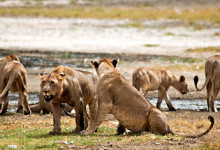 En lejon flock dricker vatten vid Lake Nakuru, Kenya