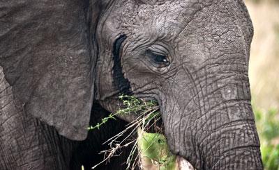 Närkontakt med Elefant i Masai Mara, Kenya