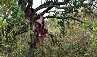 Leopard äter frukost uppe i ett träd, Kenya