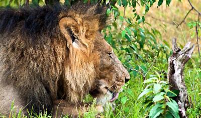 En stor katt som slickar sina tassar, Lejon i Kenya