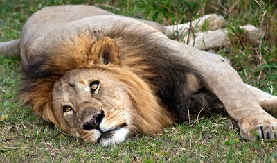 En lejonhane slappar, Kenya