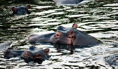 Flodhäst tittar upp över ytan, Kenya