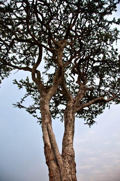 Akasia träd på savannen i Masai Mara, Kenya