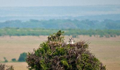 Sekreterarfågel i sitt bo, Kenya
