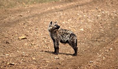 Hyena pausar på vägen och ser sig om, Kenya