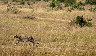 Gepard kommer mot oss, Kenya
