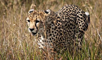 Geparden bara några meter från oss, Kenya