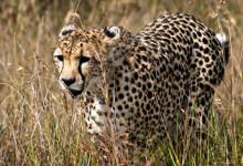 Gepard smyger fram i det höga gräset i Masai Mara, Kenya