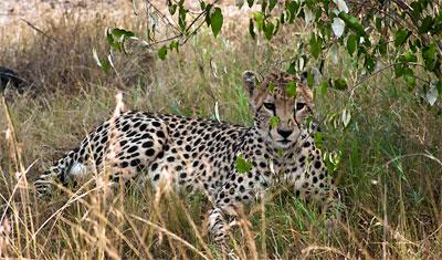 Gepard vilar i Masai Mara, Kenya