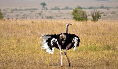 Vilda strutsar visar upp sina fjädrar, Kenya