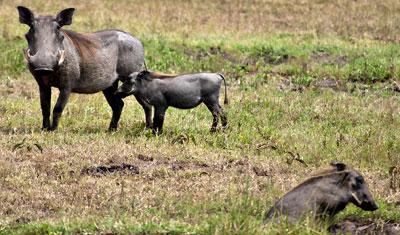 Familj med vårtsvin i Masai Mara, Kenya