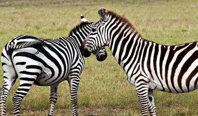 Zebra i Masai Mara, Kenya