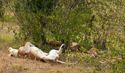 Lejoninna sover på rygg, Kenya