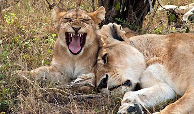 Lejoninna och dess lejonunge, Kenya