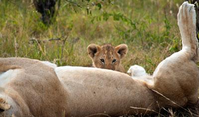 Lejonunge som diar, Kenya